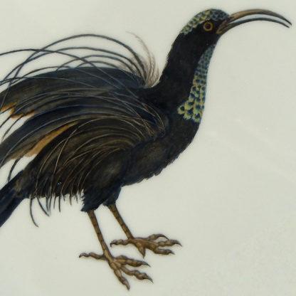 Prachtparadiesvogel